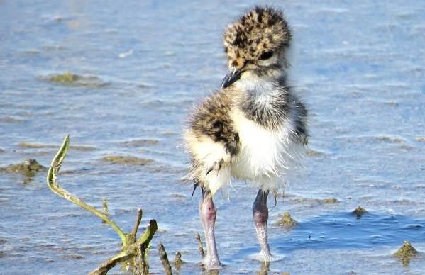 Чибис-птица-Образ-жизни-и-среда-обитания-чибиса-15