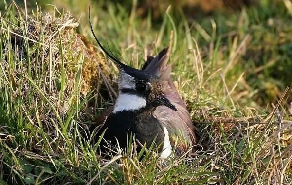 Чибис-птица-Образ-жизни-и-среда-обитания-чибиса-7