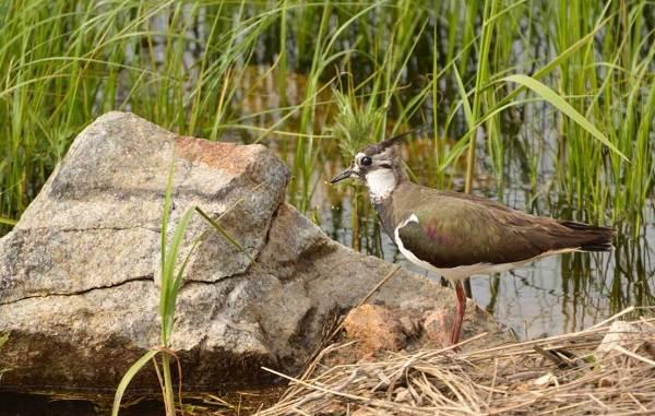 Чибис-птица-Образ-жизни-и-среда-обитания-чибиса-8