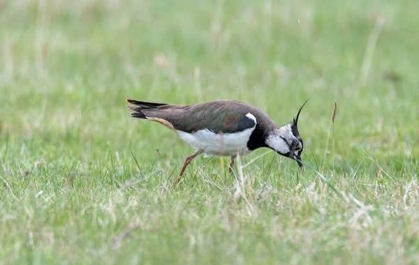 Чибис-птица-Образ-жизни-и-среда-обитания-чибиса-9
