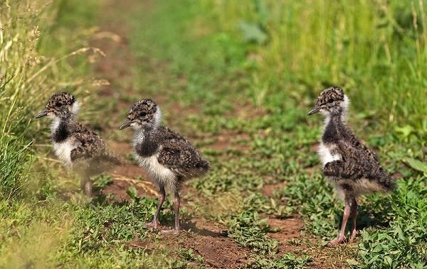 Чибис-птица-Образ-жизни-и-среда-обитания-чибиса