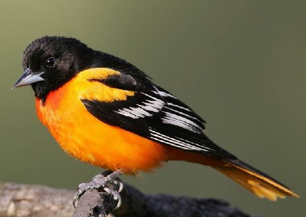 Горихвостка-птица-Описание-особенности-виды-образ-жизни-и-среда-обитания-горихвостки-1