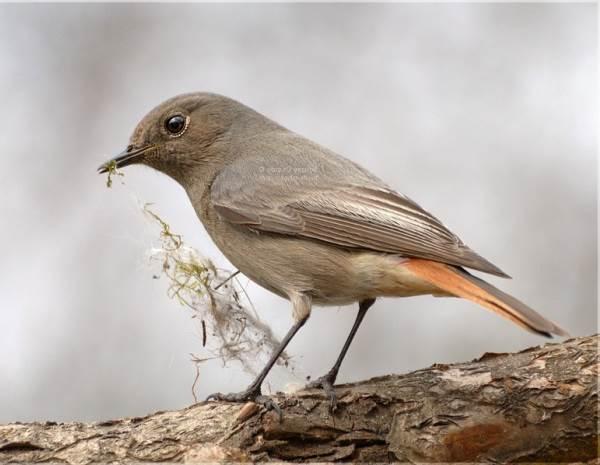 Горихвостка-птица-Описание-особенности-виды-образ-жизни-и-среда-обитания-горихвостки-10