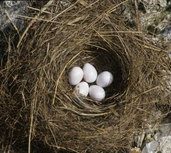 Горихвостка-птица-Описание-особенности-виды-образ-жизни-и-среда-обитания-горихвостки-11