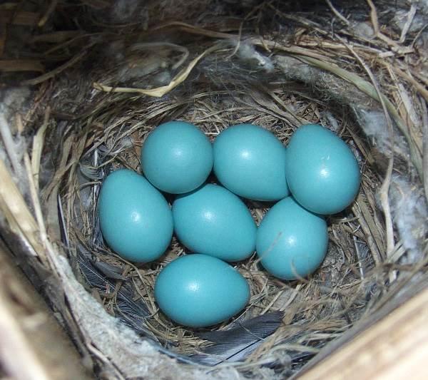 Горихвостка-птица-Описание-особенности-виды-образ-жизни-и-среда-обитания-горихвостки-12