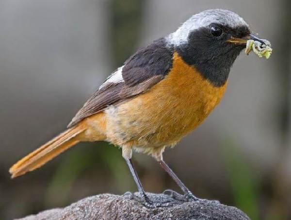 Горихвостка-птица-Описание-особенности-виды-образ-жизни-и-среда-обитания-горихвостки-2
