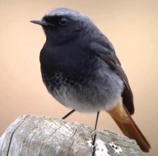 Горихвостка-птица-Описание-особенности-виды-образ-жизни-и-среда-обитания-горихвостки-4