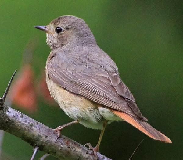 Горихвостка-птица-Описание-особенности-виды-образ-жизни-и-среда-обитания-горихвостки-5