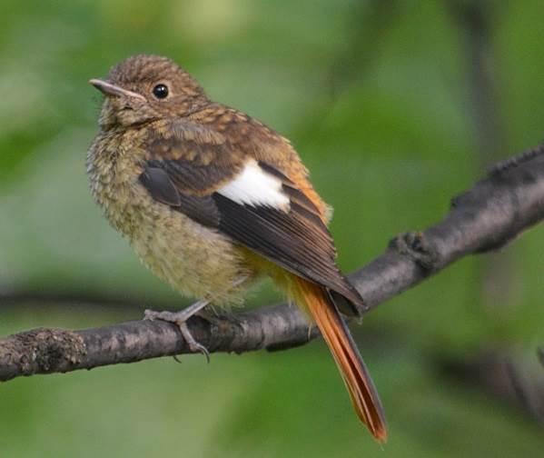 Горихвостка-птица-Описание-особенности-виды-образ-жизни-и-среда-обитания-горихвостки-6