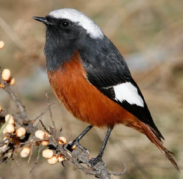 Горихвостка-птица-Описание-особенности-виды-образ-жизни-и-среда-обитания-горихвостки-7