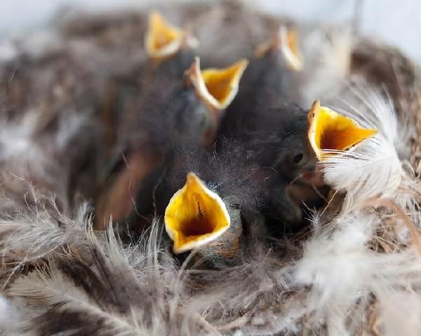 Горихвостка-птица-Описание-особенности-виды-образ-жизни-и-среда-обитания-горихвостки-9