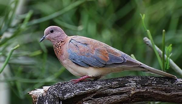 Горлица-птица-Описание-особенности-образ-жизни-и-среда-обитания-горлицы-1
