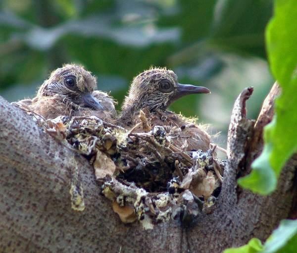 Горлица-птица-Описание-особенности-образ-жизни-и-среда-обитания-горлицы-10
