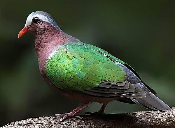 Горлица-птица-Описание-особенности-образ-жизни-и-среда-обитания-горлицы-11