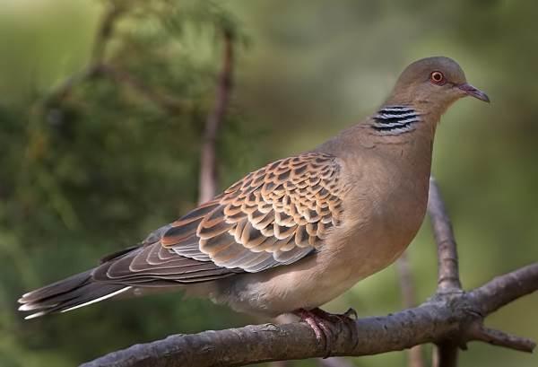 Горлица-птица-Описание-особенности-образ-жизни-и-среда-обитания-горлицы-2