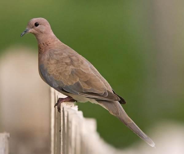 Горлица-птица-Описание-особенности-образ-жизни-и-среда-обитания-горлицы-3