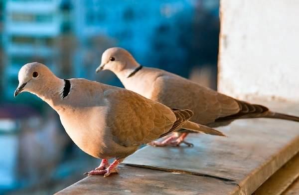 Горлица-птица-Описание-особенности-образ-жизни-и-среда-обитания-горлицы-5