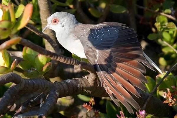 Горлица-птица-Описание-особенности-образ-жизни-и-среда-обитания-горлицы-6