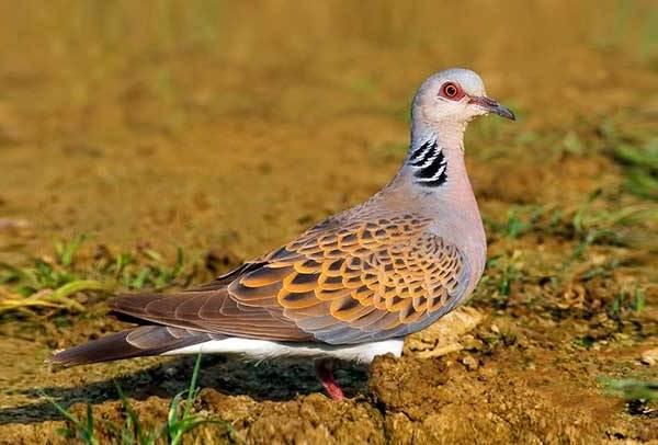 Горлица-птица-Описание-особенности-образ-жизни-и-среда-обитания-горлицы-7