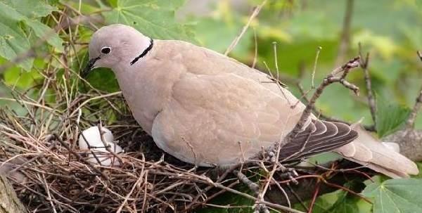 Горлица-птица-Описание-особенности-образ-жизни-и-среда-обитания-горлицы-9