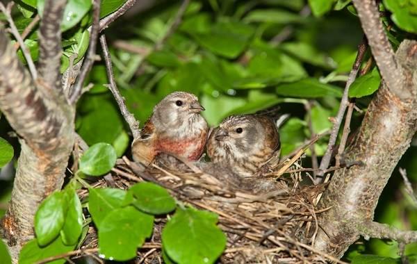 Коноплянка-птица-Образ-жизни-и-среда-обитания-коноплянки-11