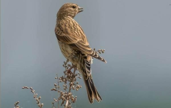 Коноплянка-птица-Образ-жизни-и-среда-обитания-коноплянки-14
