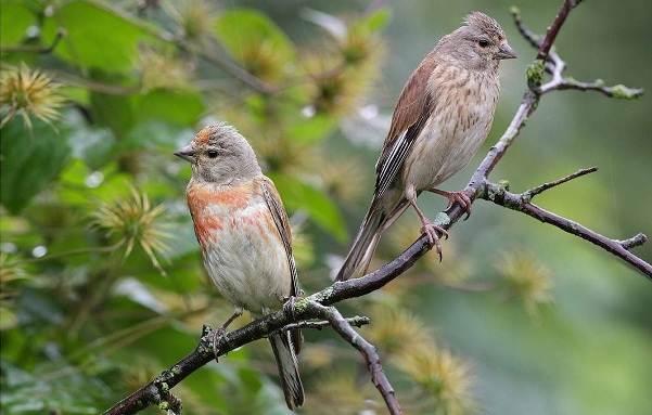 Коноплянка-птица-Образ-жизни-и-среда-обитания-коноплянки-3