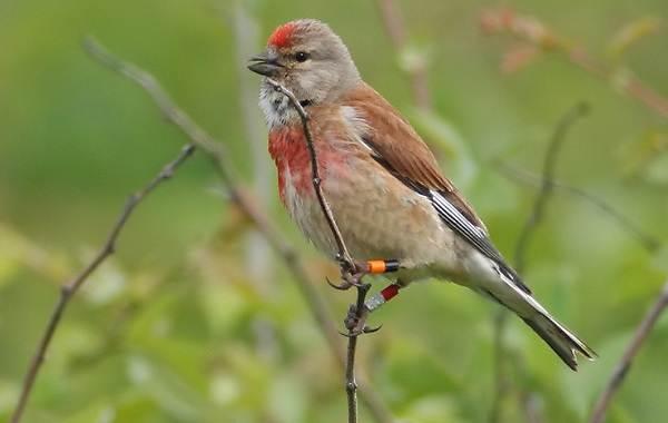 Коноплянка-птица-Образ-жизни-и-среда-обитания-коноплянки-4