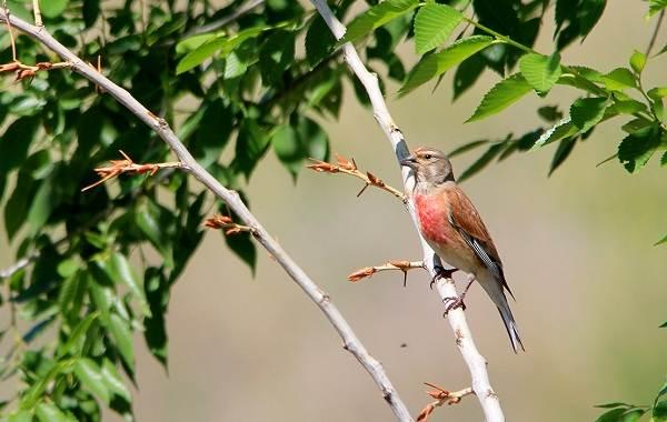 Коноплянка-птица-Образ-жизни-и-среда-обитания-коноплянки-7