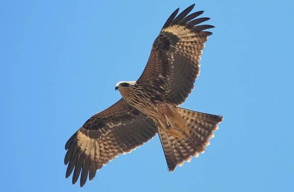 Коршун-птица-Образ-жизни-и-среда-обитания-коршуна-