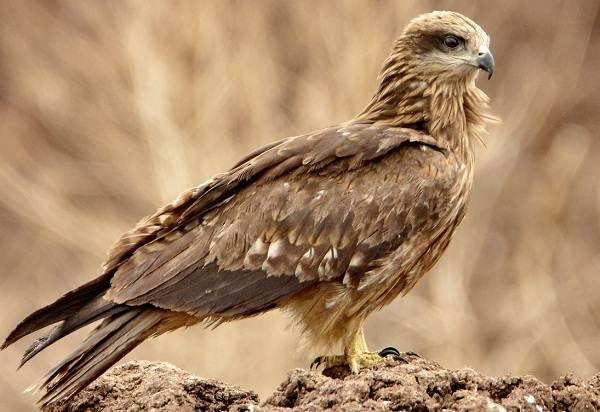 Коршун-птица-Образ-жизни-и-среда-обитания-коршуна-1