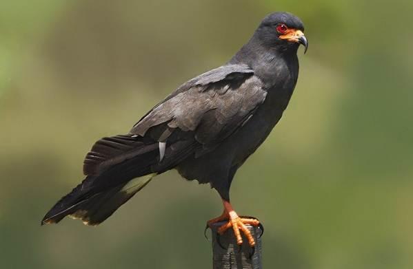 Коршун-птица-Образ-жизни-и-среда-обитания-коршуна-10