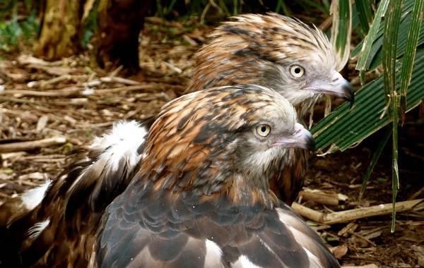 Коршун-птица-Образ-жизни-и-среда-обитания-коршуна-11