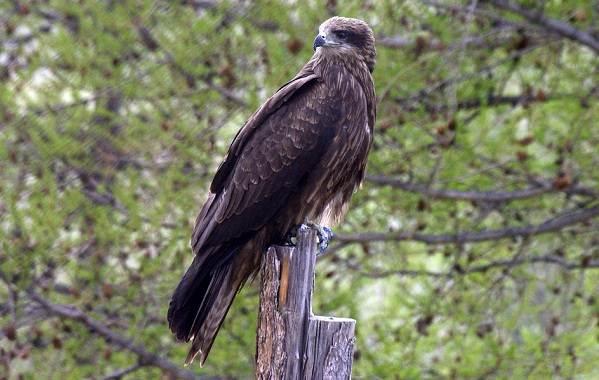 Коршун-птица-Образ-жизни-и-среда-обитания-коршуна-14