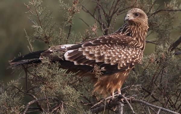 Коршун-птица-Образ-жизни-и-среда-обитания-коршуна-16