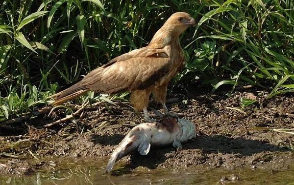 Коршун-птица-Образ-жизни-и-среда-обитания-коршуна-17