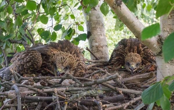 Коршун-птица-Образ-жизни-и-среда-обитания-коршуна-20