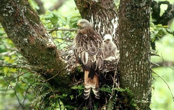 Коршун-птица-Образ-жизни-и-среда-обитания-коршуна-21