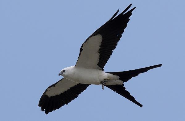 Коршун-птица-Образ-жизни-и-среда-обитания-коршуна-22