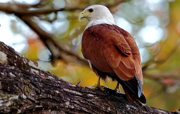 Коршун-птица-Образ-жизни-и-среда-обитания-коршуна-3