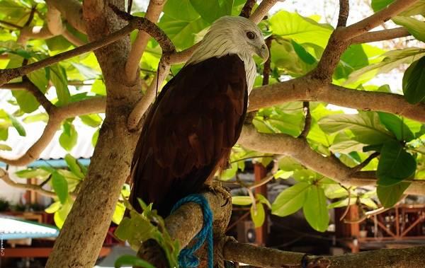 Коршун-птица-Образ-жизни-и-среда-обитания-коршуна-4