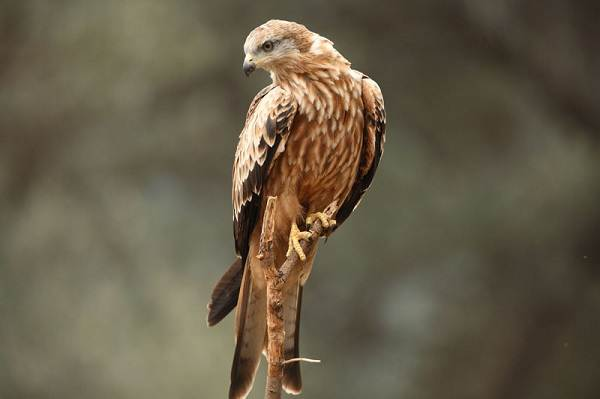 Коршун-птица-Образ-жизни-и-среда-обитания-коршуна-5