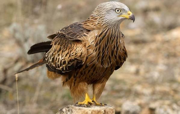 Коршун-птица-Образ-жизни-и-среда-обитания-коршуна-6