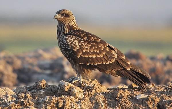 Коршун-птица-Образ-жизни-и-среда-обитания-коршуна
