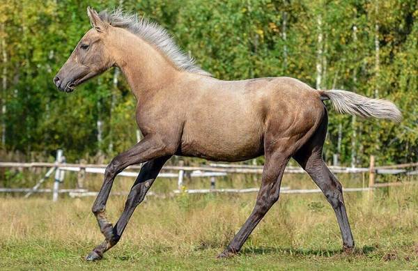 Масти-лошадей-Описание-особенности-и-названия-мастей-лошадей-17