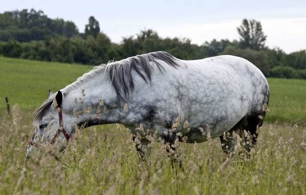 Масти-лошадей-Описание-особенности-и-названия-мастей-лошадей-20