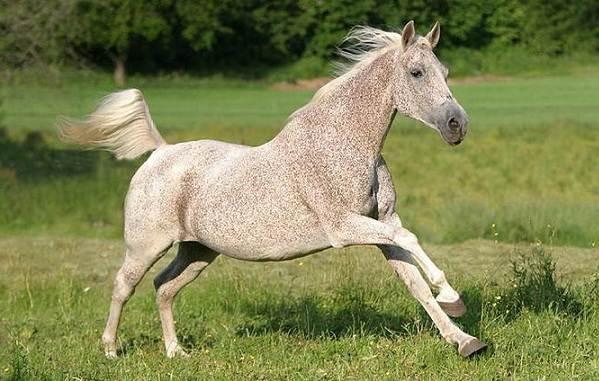 Масти-лошадей-Описание-особенности-и-названия-мастей-лошадей-22