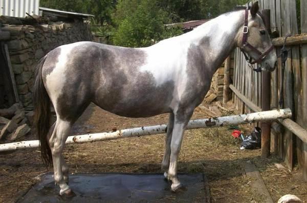 Масти-лошадей-Описание-особенности-и-названия-мастей-лошадей-23