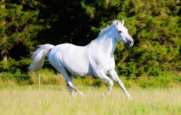 Масти-лошадей-Описание-особенности-и-названия-мастей-лошадей-24