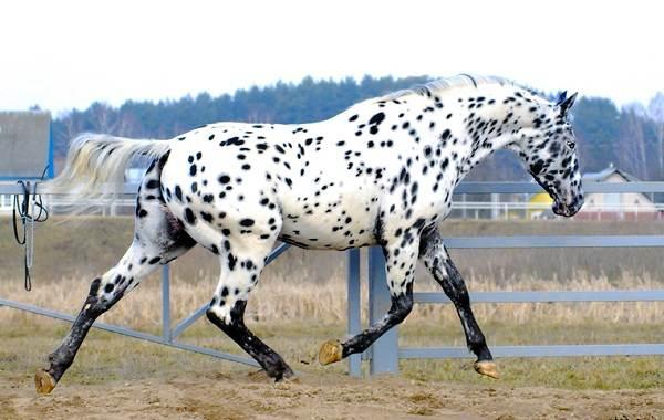 Масти-лошадей-Описание-особенности-и-названия-мастей-лошадей-25